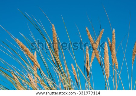 Marram grass in close-up against clear blue sky; Coastal vegetation - stock photo