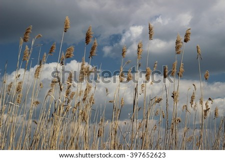 Marsh bulrush on background storm sky