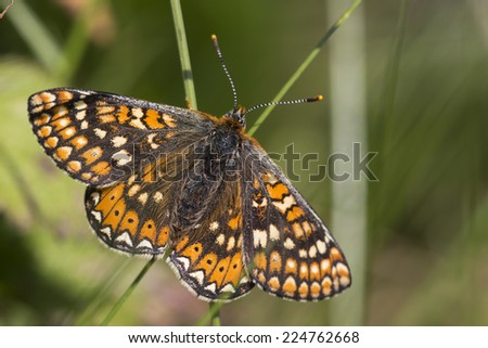Marsh Fritillary butterfly, now becoming rare in the UK, The Lizard, Cornwall, England, UK.