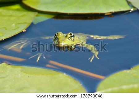 Marsh frog floating on water - stock photo
