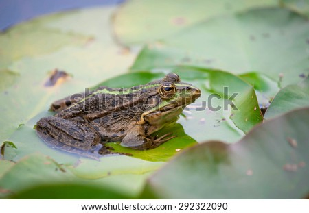 Marsh frog in the pond - stock photo