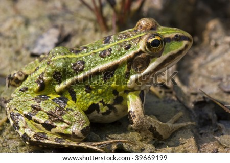 Marsh frog (Rana Ridibunda)