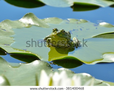 Marsh frog sits on a green leaf among waterlilies in the pond - stock photo