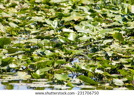Marsh grass with broad green leaves - stock photo