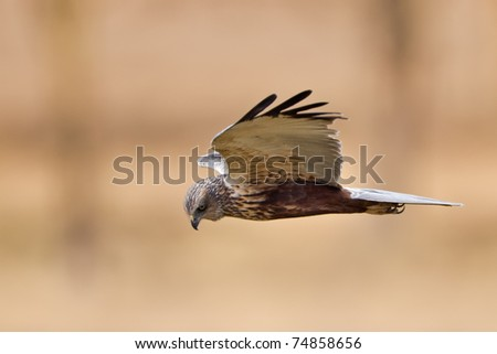 Marsh Harrier in flight - stock photo