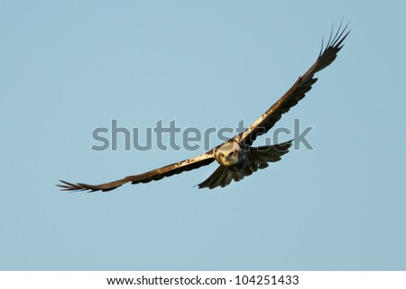 Marsh Harrier in flight and white a prey