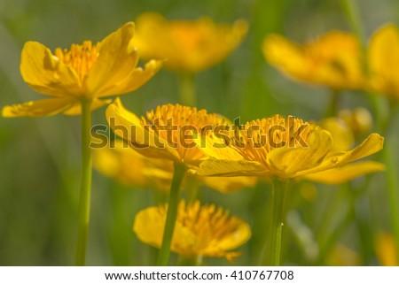marsh marigold - stock photo