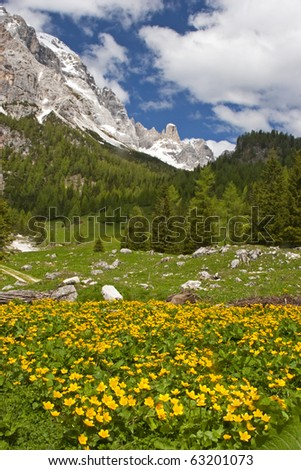 Marsh marigold flower meadow in the Dolomites