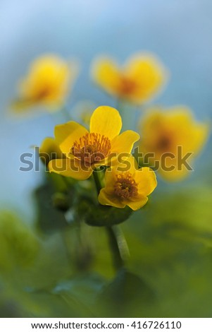 Marsh Marigold or Kingcup - Caltha palustris  - stock photo