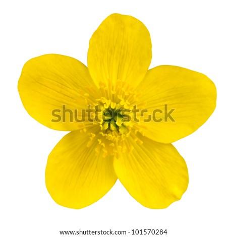 Marsh Marigold Yellow Flower Isolated on White Background. Caltha Palustris Macro Detail - stock photo