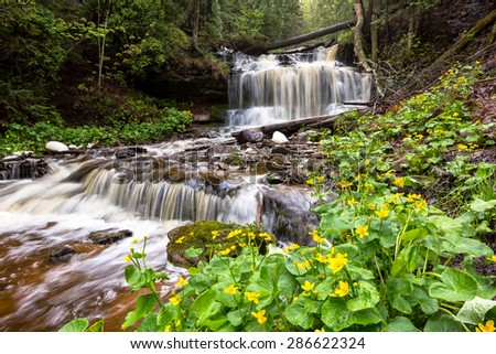Marsh marigolds are in full bloom at Wagner Falls Scenic Site near Munising Michigan in the Upper Peninsula. The spring rains run swiftly over this scenic waterfall near Pictured Rocks. - stock photo