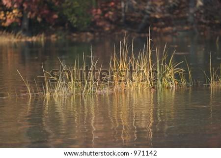 Marsh Peaking From Water - stock photo