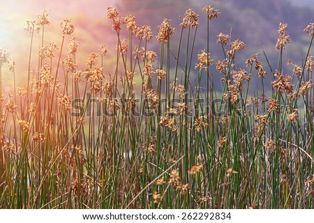 marsh reeds blowing in the wind bearing brown flowers and seeds - stock photo