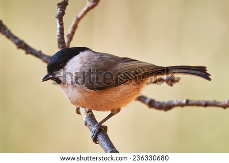 Marsh tit perched on a little branch - stock photo