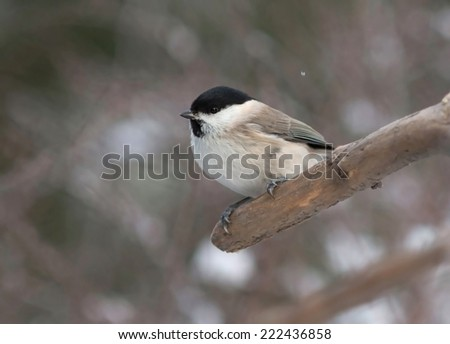 Marsh tit (Poecile palustris). A small bird that is very similar to the Willow Tit.
