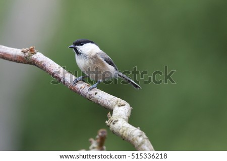 Marsh Tit sitting on a branch, Netherlands