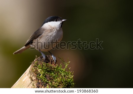 marsh tit sitting on a branch with moss