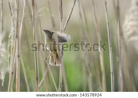 Marsh warbler on branch. - stock photo
