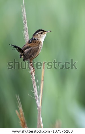 Marsh Wren perched on a reed with green background.