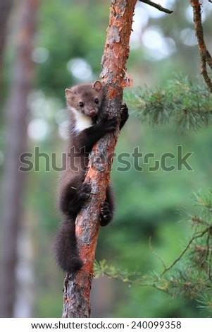 Marten beech, lat. Martes foina  on the pine tree - stock photo
