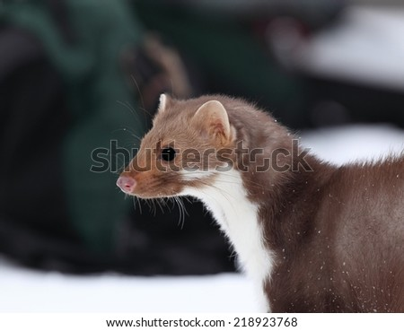 Marten beech (Martes foina), focused on the head of white breasted marten - stock photo