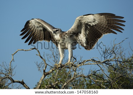 Martial eagle preparing for take-off, South Africa