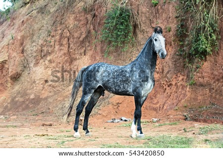 Marwari  grey stallion  at rock background