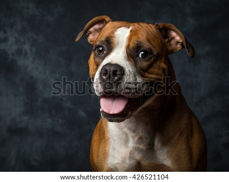Mary Jane 2 YO American Bulldog Rare Colour