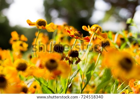 maryland state flower flower meadow stock photo royalty free