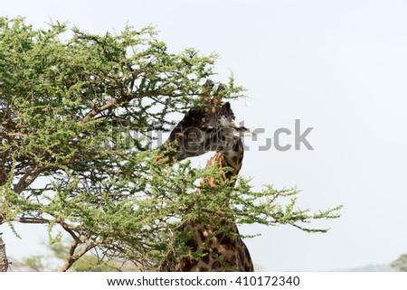 masai giraffe eating from a tree - stock photo