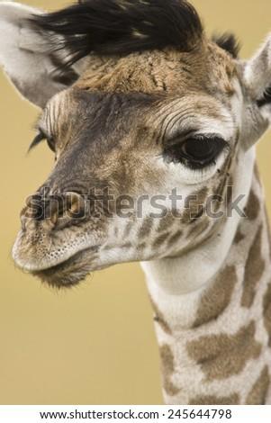 Masai Giraffe, Giraffa camelopardalis, in the Masai Mara Game Reserve, Kenya, Africa - stock photo