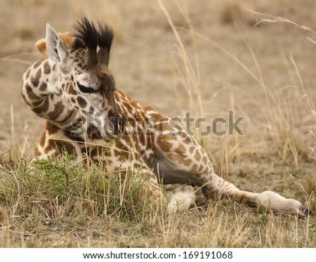Masai Giraffe, Giraffa camelopardalis tippelskirchi, in the Masai Mara GR, Kenya, Upper Mara, baby laying resting in grassland - stock photo