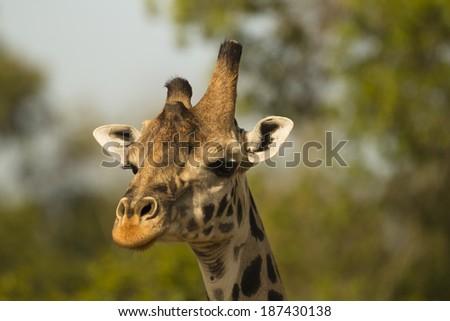 Masai Giraffe, Giraffa camelopardalis tippelskirchi, Masai Mara Game Reserve, Kenya, Africa - stock photo