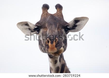 Masai giraffe head, Serengeti National Park, Tanzania,   - stock photo
