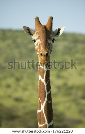 Masai Giraffe stairs into camera head-on at the Lewa Wildlife Conservancy, North Kenya, Africa - stock photo