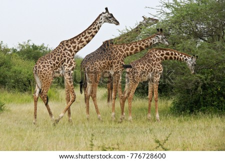 Masai giraffes browsing on acacia tree, Serengeti National Park, Tanzania