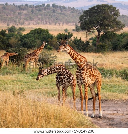 Masai or Kilimanjaro Giraffe - Scientific name: Giraffa camelopardalis tippelskirchi. Several individuals standing together with bent necks. Maasai Mara National Reserve, Kenya, East Africa. - stock photo