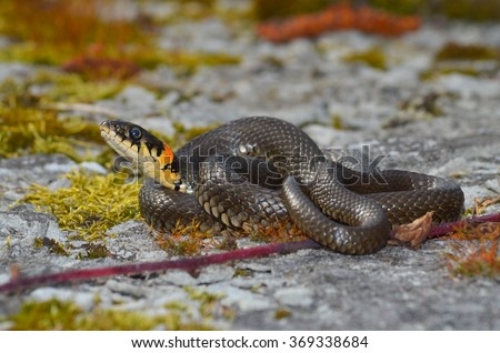 Masculine reptile or grass snake (Natrix natrix) - stock photo