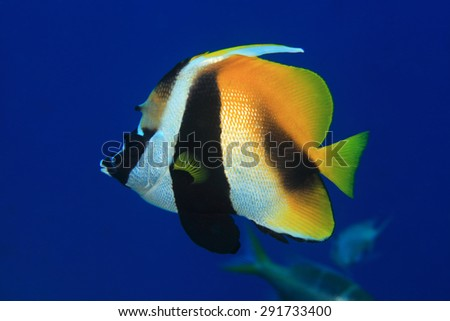 Masked bannerfish (Heniochus monoceros) in the tropical waters of the indian ocean  - stock photo