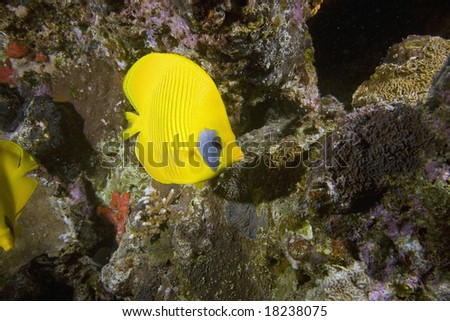 Masked Butterfly Fish (Chaetodon semilarvatus)