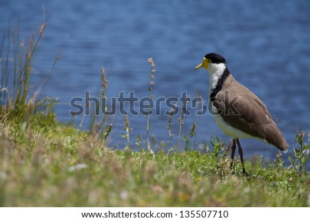 Masked Lap Wing formerly known as the Spur Winged Plover - stock photo