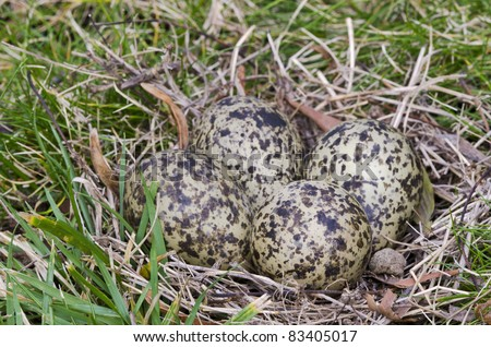 "Masked Lapwing nest with four eggs The masked lapwing, also known as ""plover"" is an Australian medium-sized conspicuous bird with loud, penetrating calls. This nest had been abandoned by the parents."