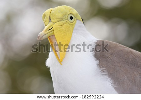 Masked Lapwing (Vanellus Miles), Previously Known as Masked Plover but Often Called a Spur-Winged Plover. - stock photo