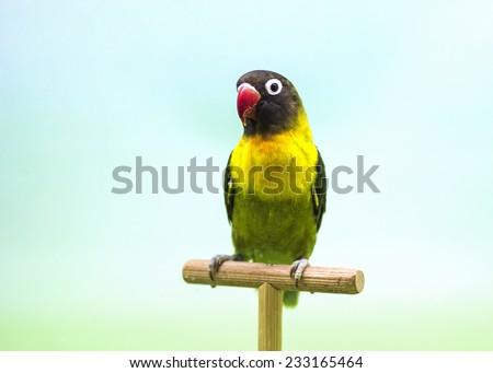 Masked lovebird (Agapornis personata). - stock photo