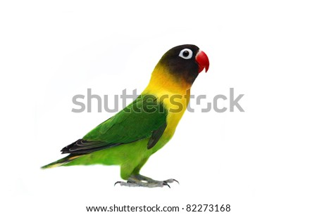 Masked Lovebird natural coloring on the white background - stock photo