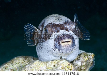 Masked puffer (Arothron diadematus) at night in the Red Sea, Egypt. - stock photo