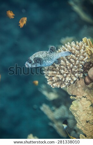 Masked pufferfish - Arothron diadematus swimming near the corals. This fish can be seen only in Red Sea - stock photo