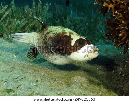 Masked pufferfish (Arothron diadematus) under coral