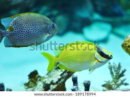 Masked Rabbitfish - Siganus puellus and golden rabbitfish in blue water of aquarium - stock photo