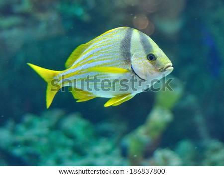 Masked Rabbitfish - Siganus puellus in blue water of aquarium - stock photo